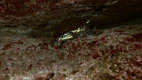 Gul sköldpadda i cenote för grottasjöYucatan mexikan lager videofilmer