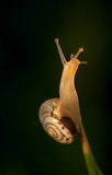 Gul Snail Royaltyfri Bild