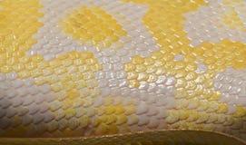 Gul snakeskinpytonorm Arkivfoton