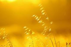 Gul solnedgång i vetefältet royaltyfri fotografi