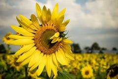 Gul solros Fotografering för Bildbyråer