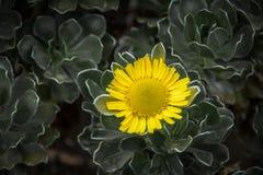 gul solros Royaltyfri Foto
