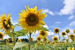 gul solros arkivfoto