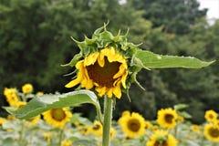 gul solros Arkivbilder