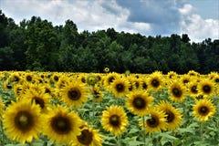 gul solros royaltyfri fotografi
