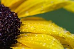 Gul solros för makro med regndroppar Royaltyfri Bild