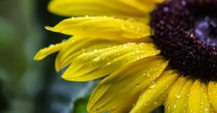 Gul solros för makro med regndroppar Fotografering för Bildbyråer