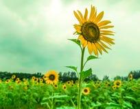 Gul solros i fält Arkivbilder