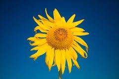 Gul solros i sommartid på bakgrund för blå himmel, copyspace arkivfoto