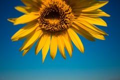 Gul solros i sommartid på bakgrund för blå himmel, copyspace fotografering för bildbyråer