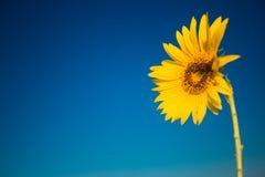 Gul solros i sommartid på bakgrund för blå himmel, copyspace royaltyfri bild
