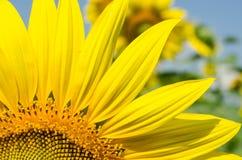 Gul solros i trädgården Fotografering för Bildbyråer