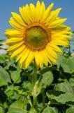 Gul solros i trädgården Royaltyfria Bilder