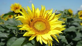 Gul solros med biet, closeup stock video