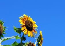 Gul solros med blå himmel royaltyfri foto