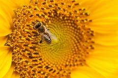 Gul solros med ett bi på det Arkivbilder