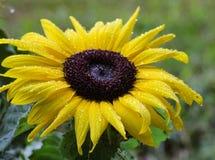 Gul solros med regndroppar Royaltyfria Bilder