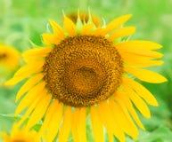 Gul solros med suddighet Baclground Arkivfoton