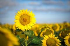 Gul solros mot den blåa himlen och det gröna fältet Arkivfoto