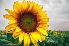 Gul solros och grå färghimmel Royaltyfria Foton