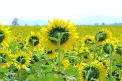 Gul solros som blommar till och med fälten Royaltyfria Bilder
