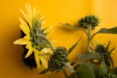 Gul solrosbukett på bakgrund Rund ljus härlig gul ny solros för Closeup royaltyfri bild