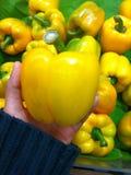 Gul spansk peppar i hand Arkivbilder