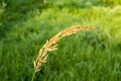Gul spikelet på en suddig bakgrund av gräs Royaltyfria Bilder