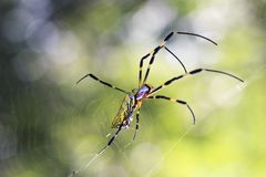 Gul spindel med ett slut för spindelrengöringsduk upp royaltyfria bilder