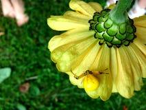Gul spindel på blomman Royaltyfri Bild