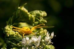 Gul spindel på blomman Arkivbilder