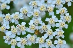 Gul spindel på blommor av yarrow Makro Royaltyfria Bilder