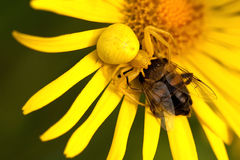 Gul spindel som graping en fluga Royaltyfria Bilder