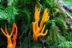 Gul Stagshorn champinjon i barrträdskog Fotografering för Bildbyråer
