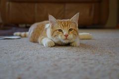 Gul strimmig kattkatt på golvet Royaltyfri Foto