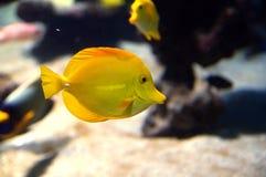 Gul Surgeonfish Royaltyfria Foton