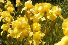 Gul svärdsliljablommor 01 Fotografering för Bildbyråer