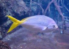 Gul svansfisk Royaltyfri Foto