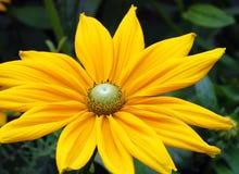 Gul svart synad susan blomma Arkivbild