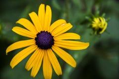 Gul svart synad susan blomma Fotografering för Bildbyråer