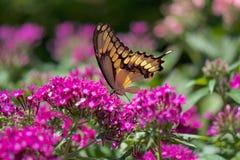 Gul Swallowtail fjäril fotografering för bildbyråer
