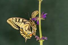 Gul swallowtail på blomman Arkivbild