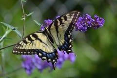 Gul swallowtailfjäril på en purpurfärgad fjärilsbuske arkivbilder