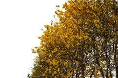 Gul Tabebuia Chrysantha blomma Arkivbild