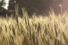 Gul tappning för closeup för vetefält Arkivfoto