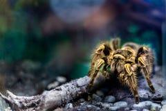 Gul tarantel i terrarium Fotografering för Bildbyråer