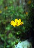 Gul Tickseed blomma Royaltyfri Foto
