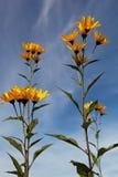Gul topinambur blommar tusenskönafamiljen mot blå himmel Arkivbilder