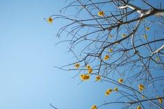 Gul trädblomma för siden- bomull på blå himmel i dag Arkivbild