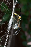 Gul trädgårds- spindel i hennes rengöringsduk med rovet Arkivbilder
